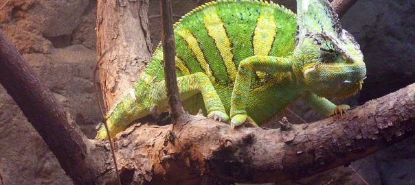 Can bearded dragons and chameleons live together